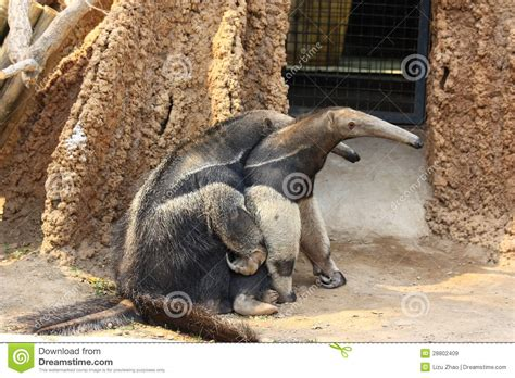 anteaters mating royalty  stock images image