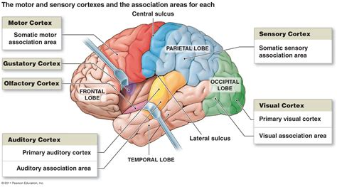 sensory and motor areas of the brain brain and the cranial nerves