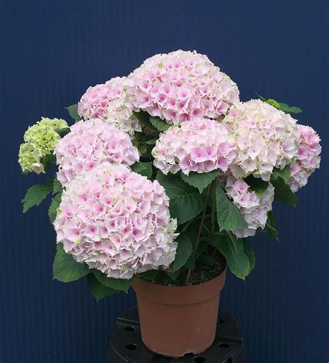 Hydrangea Planter by Plants Flowers 187 Lacecap Hydrangea