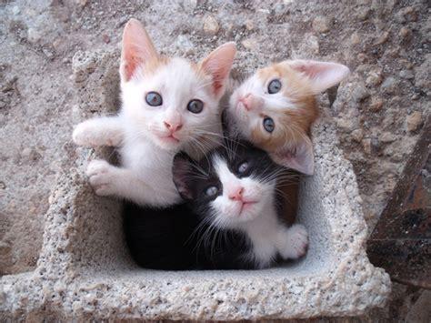 imagenes blanco y negro gatitos ayuda para 3 gatitos de 2 meses los regalar 225 n en un