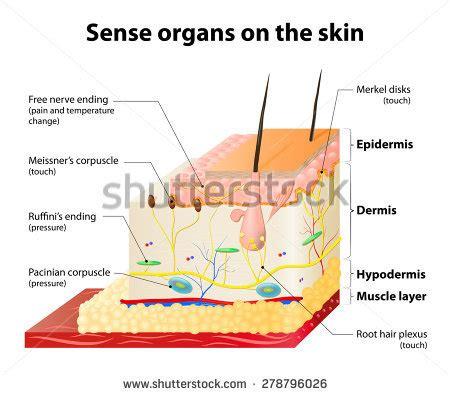skin structure stock photos royalty free skin structure images depositphotos 174 royalty free structure of the human skin anatomy 251498023 stock photo avopix