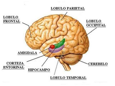 imagenes de el cerebro humano amigdala nedir