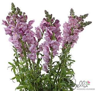 Flowers 101 Snapdragons by 101 Best Images About Cut Flower Purple On The