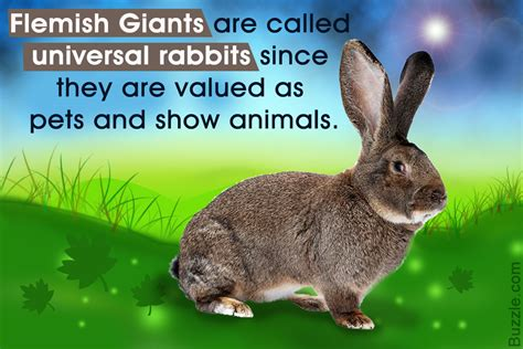 7 Facts On Bunny Rabbits by Fabulously Interesting Facts About Flemish Rabbits