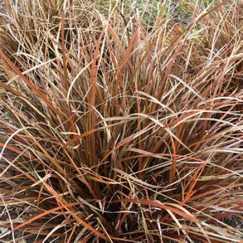 rotes gras ornamental grasses scotplants direct
