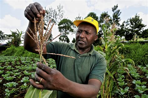 farmer s kenyan farmers sue government to stop lifting of gmo ban
