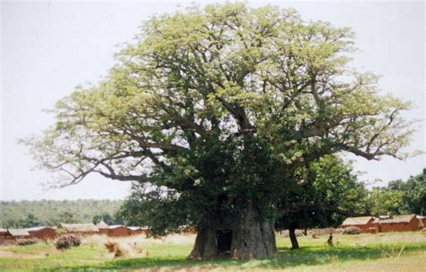 baobab tree facts interesting information about its