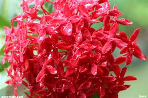 Flower Plants India - plants and flowers of india and pune ixora punemate