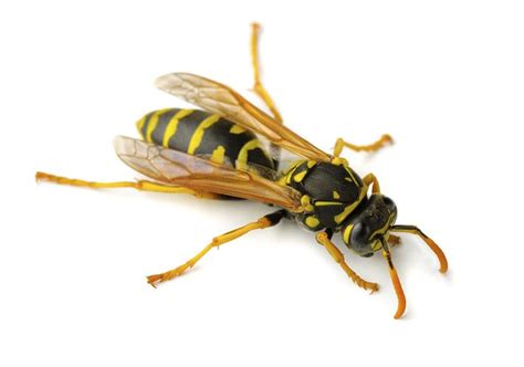 How To Make A Paper Wasp - paper wasps paper wasp prevention pa paper wasp