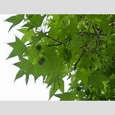 Eastern Redbud Leaves | 1024 x 768 jpeg 510kB