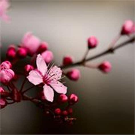 fiori ciliegio significato significato fiori di ciliegio significato fiori fiori