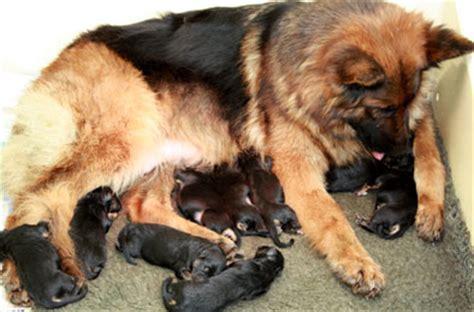 yorkie in heat symptoms a healthy breakfast during pregnancy german shepherd stages of pregnancy