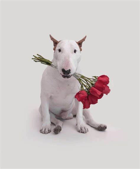The Pull jimmy choo the bull terrier why we bull