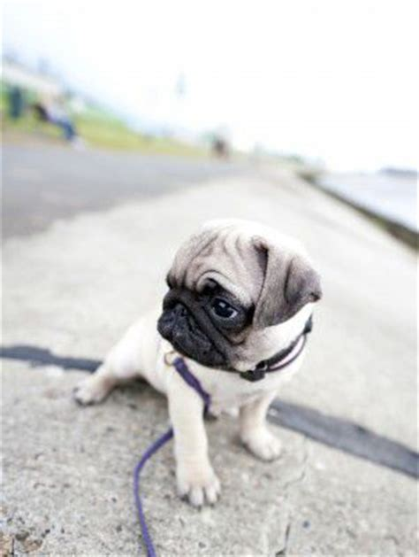 pug advice 17 best images about doug the pug on faces new and pet