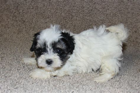 havanese puppies for sale in louisiana black havanese puppies for sale uk images