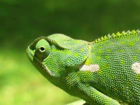 lizards that change color chameleon the animals kingdom