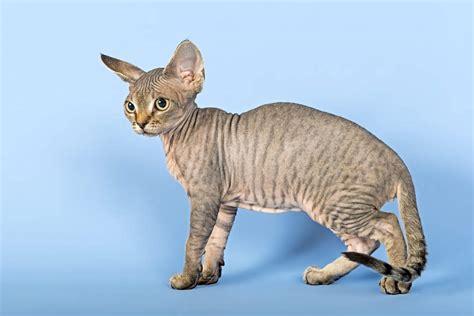 Cat breeds: The Devon Rex cat characteristics and