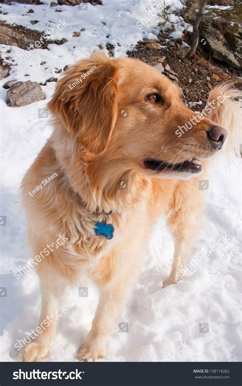 golden retriever growling golden retriever snarling growling stock photo 108118262