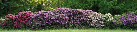 rhododendron hecke rhododendron hecken wichtige schnell tipps zu den