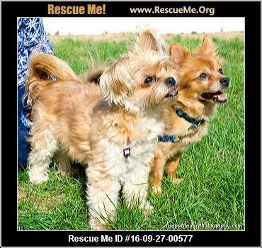 yorkies for adoption in ma massachusetts yorkie rescue adoptions rescueme org