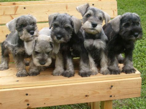 puppies on schnauzer puppies on a bench wallpapers and images wallpapers pictures photos