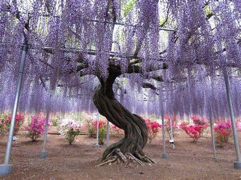 purple wisteria tree with twisted trunk wedding ideas pinterest