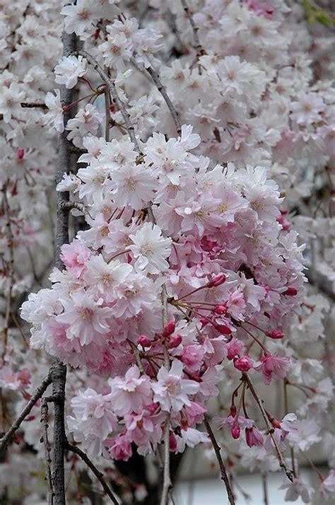 double pink weeping higan cherry prunus subhirtella