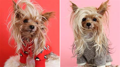 meet willie the yorkie the dog with the best hair on the
