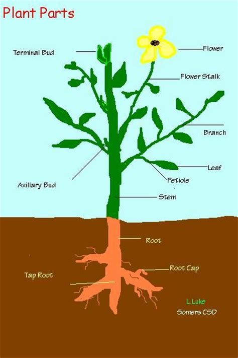 plant diagrams plant information vocabulary science