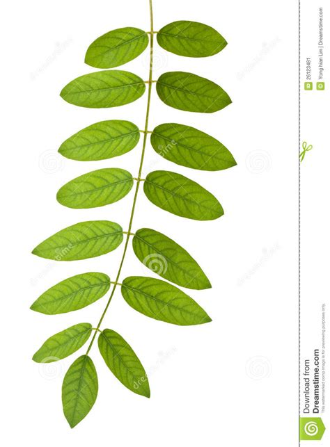 stem with green leaves stock image image of stalk
