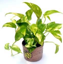buy money plant hybrid online flaberry com