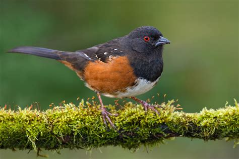 spotted towhee audubon field guide