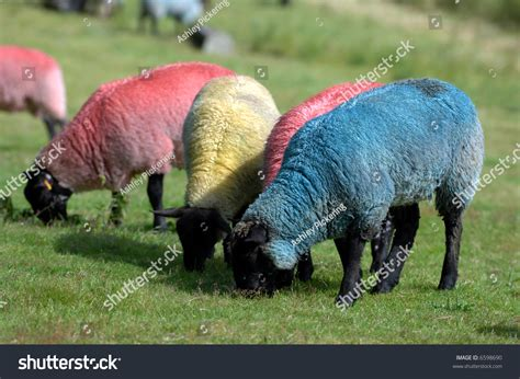 colored sheep colored sheep stock photo 6598690