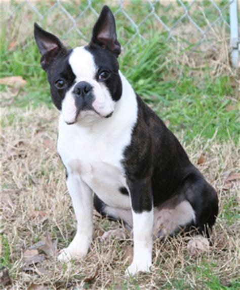 boston terrier puppies for sale in mn boston terrier pups for sale mn photo