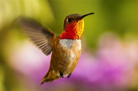 allen s hummingbird the audubon birds climate change