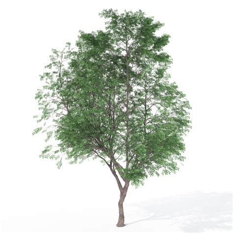 Coffee Tree xfrogplants kentucky coffee tree 3d model max 3ds c4d lwo