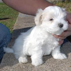 teacup maltese puppies for adoption gallery for gt teacup puppies for adoption