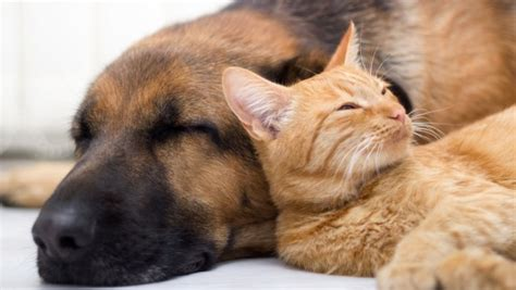 dogs with cats dogs and cats how to make your and cat become friends in just a few hours my