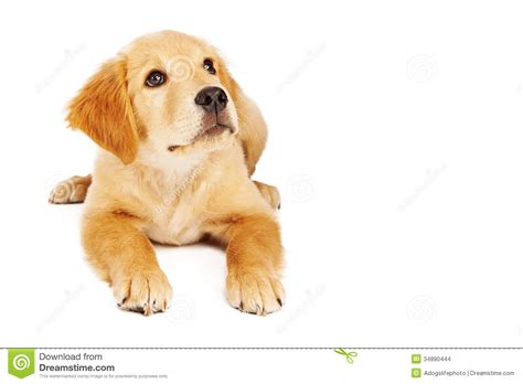 looking for golden retriever puppies golden retriever puppy laying and looking up stock images image 34890444
