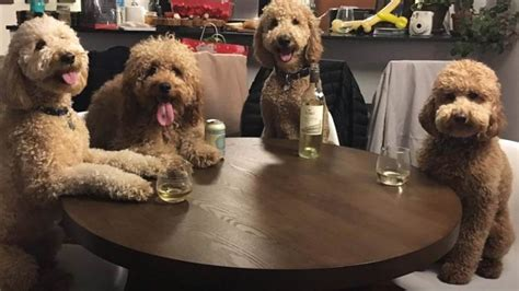 mini goldendoodle ta these goldendoodles are best friends and lucky for us
