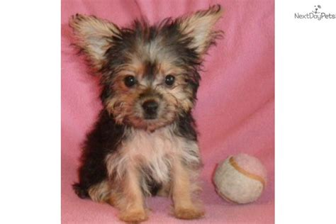 grey yorkie gray yorkie poo puppies gray yorkie poo puppies hairstylegalleries gray yorkie