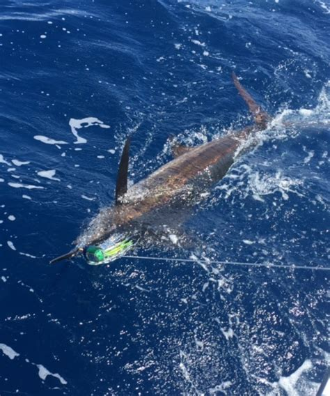 Gulf of Mexico Deep Sea Fishing Charters Matagorda Bay ... O Connor Texas