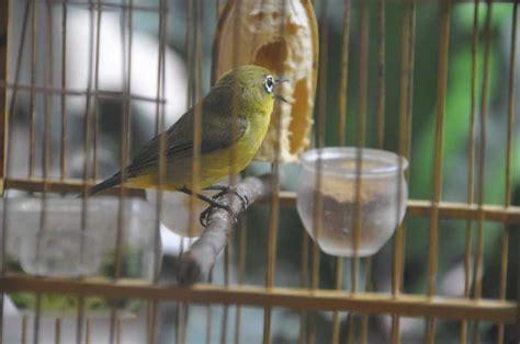 Harga Pakan Burung Pleci Import perawatan yang benar agar pleci cepat gacor hobi burung