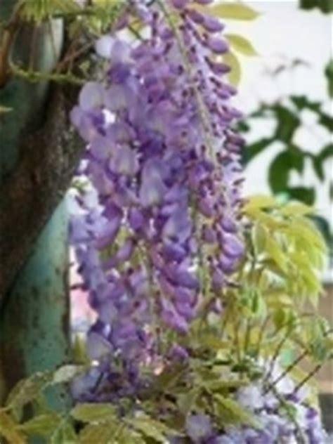 fiore glicine significato glicine significato dei fiori