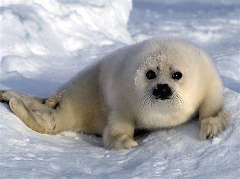 Imagenes De Focas Blancas | beb 233 de foca blanca im 225 genes y fotos