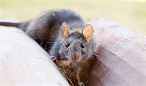 how to get rid of rats in the backyard outdoor goods
