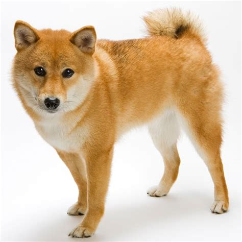 what type of is doge the japanese shiba inu is one of few ancient breeds of still in existence it