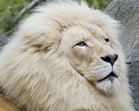 imagenes de leones raros curiosidades animais le 245 es