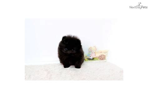 pomeranian puppies jackson ms top quality teacup pomeranian puppy 5 1 breeds picture