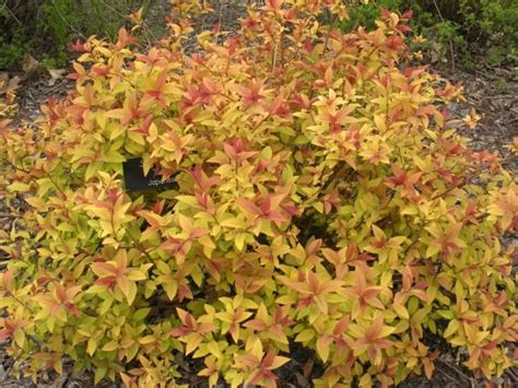 leaves pink flowers shrub goldflame spirea a low growing shrub of 2 5 with
